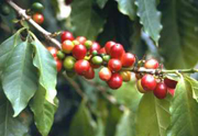 Coffea arabica L.